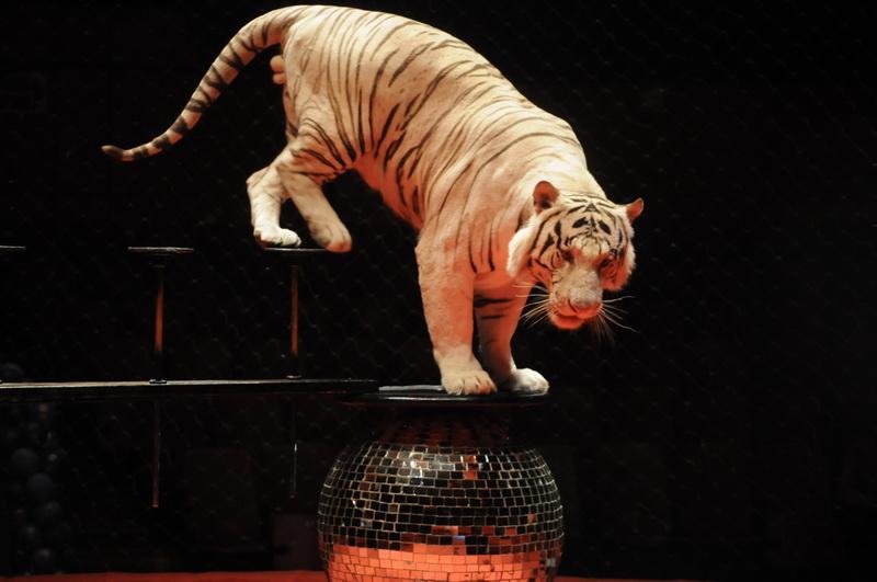 видео с цирка белые тигры