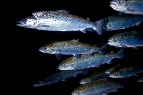 лосось черноморский на что ловить