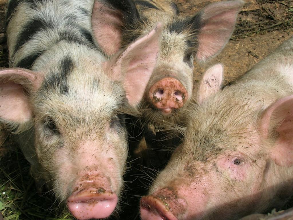 рожа вьетнамских свиней фото