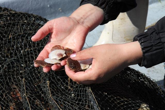 как ловят морского гребешка
