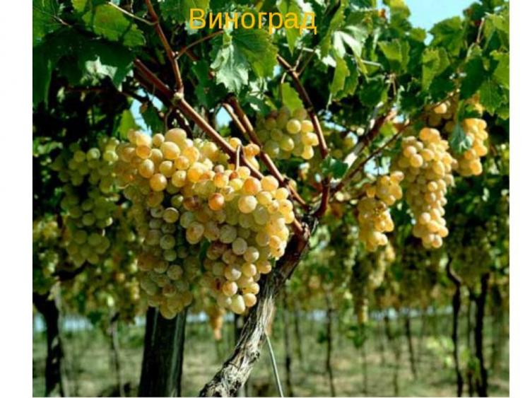 Выращивание винограда оквэд 31