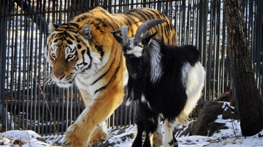 видео о тигре амуре и козле тимуре