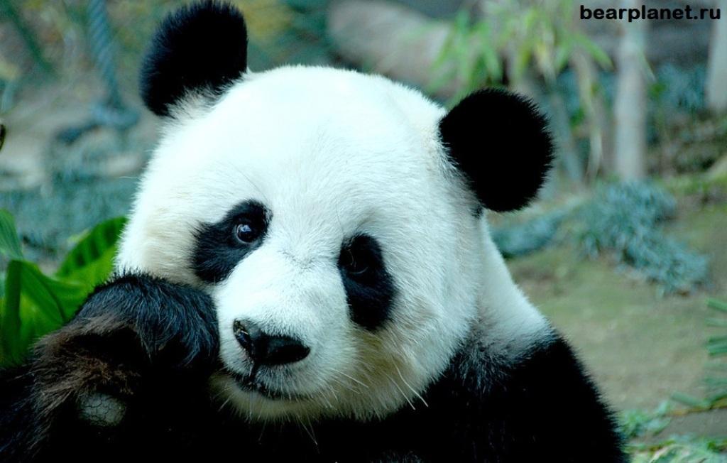 Большую панду исключили изсписка вымирающих видов животных