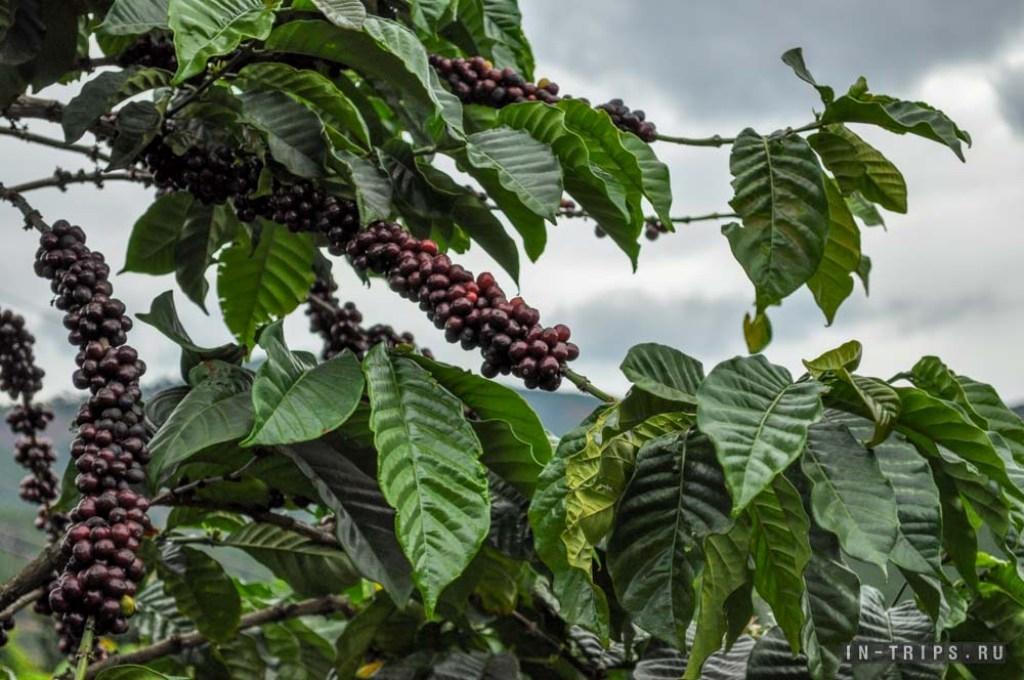Из-за глобального потепления люди лишатся кофе