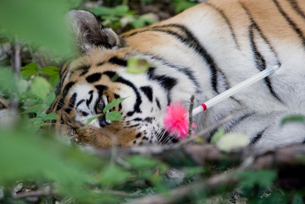 ВоВладивостоке словили разгуливавшего поулицам тигра