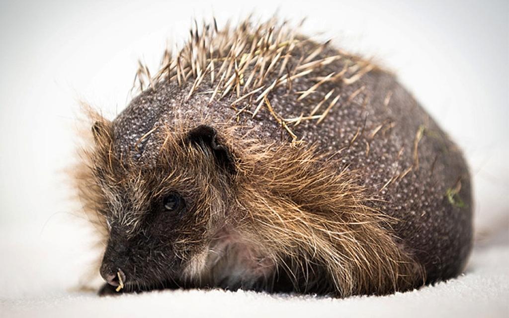 Британские ветеринары назначили лысому ежику массаж