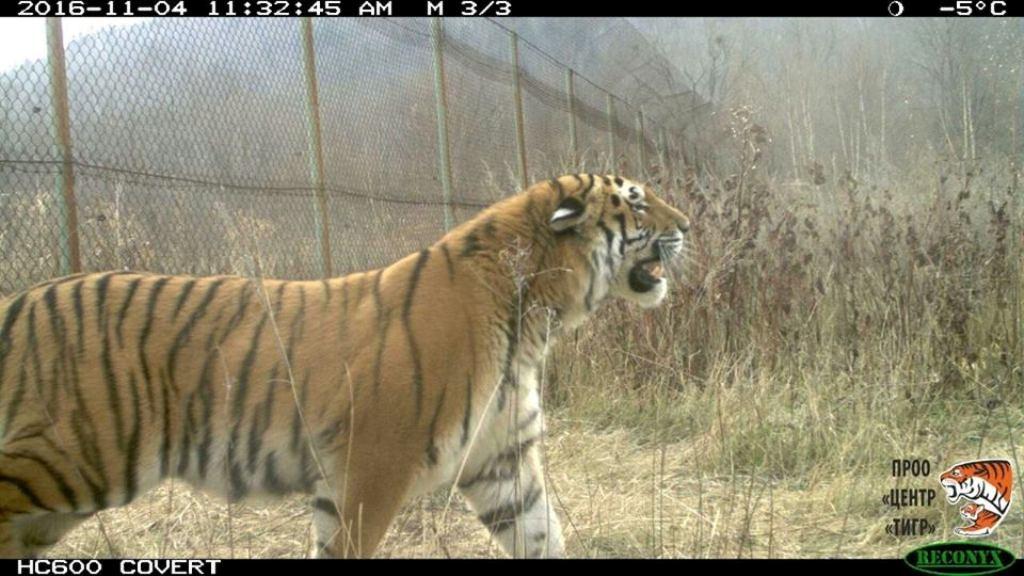 Пойманный воВладивостоке тигр получил имя