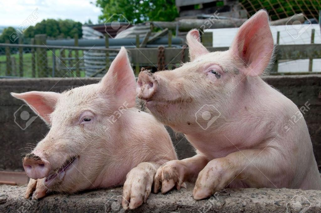Свиньи бывают пессимистами иоптимистами— английские ученые