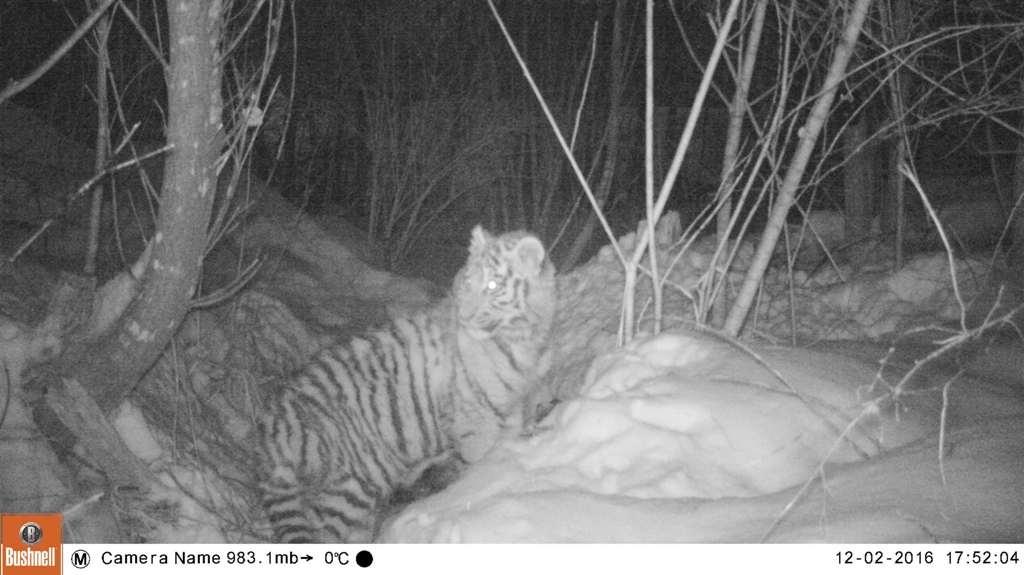 Полугодовалого тигренка обнаружили наокраине села вПриморье
