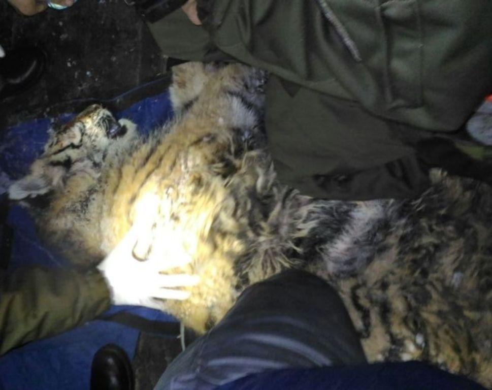 Уголовное дело возбуждено пофакту ранения тигренка вПриморье