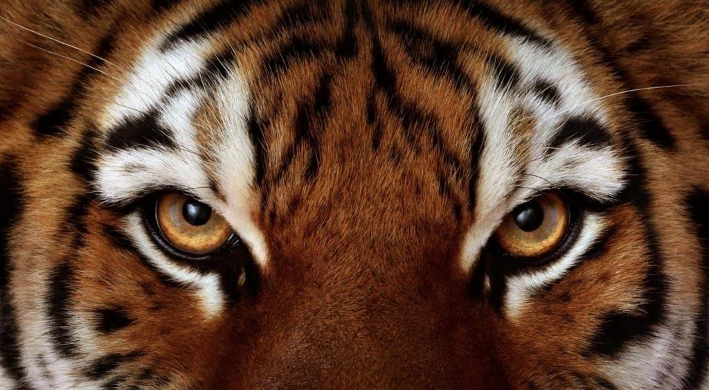 ВПриморье тигрица лишилась лапы вкапкане браконьера ипогибла