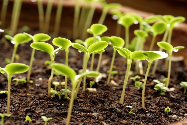 Как сажать ромашки семенами 61