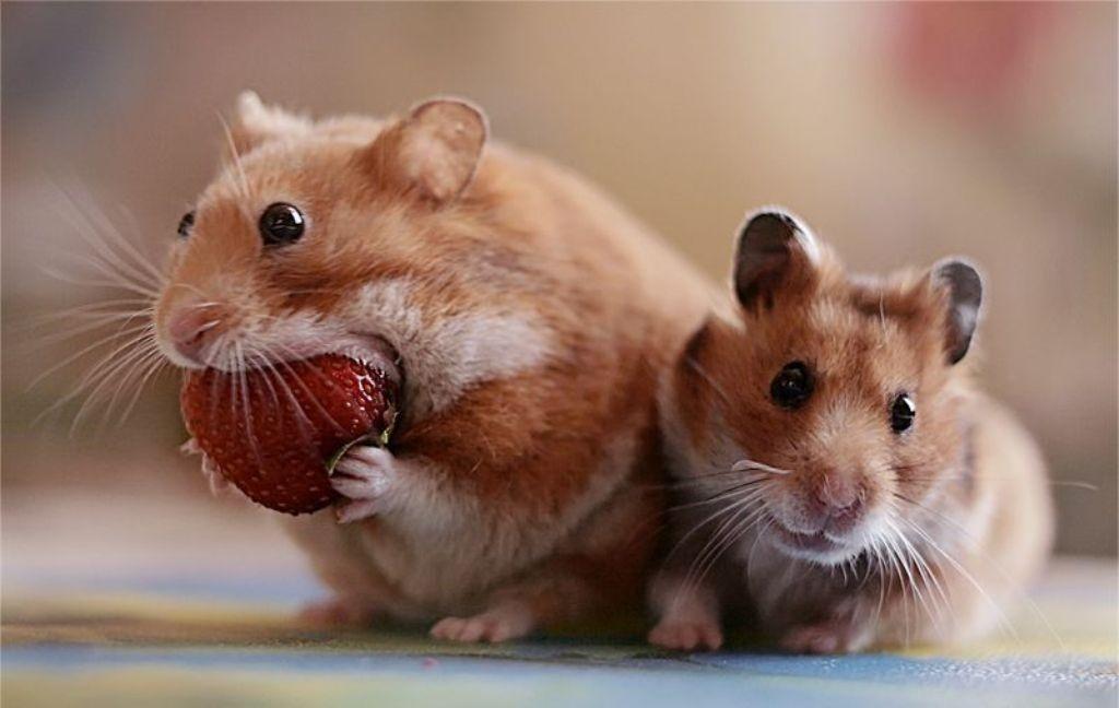 Ученые: Крысы смеются при помощи ушей