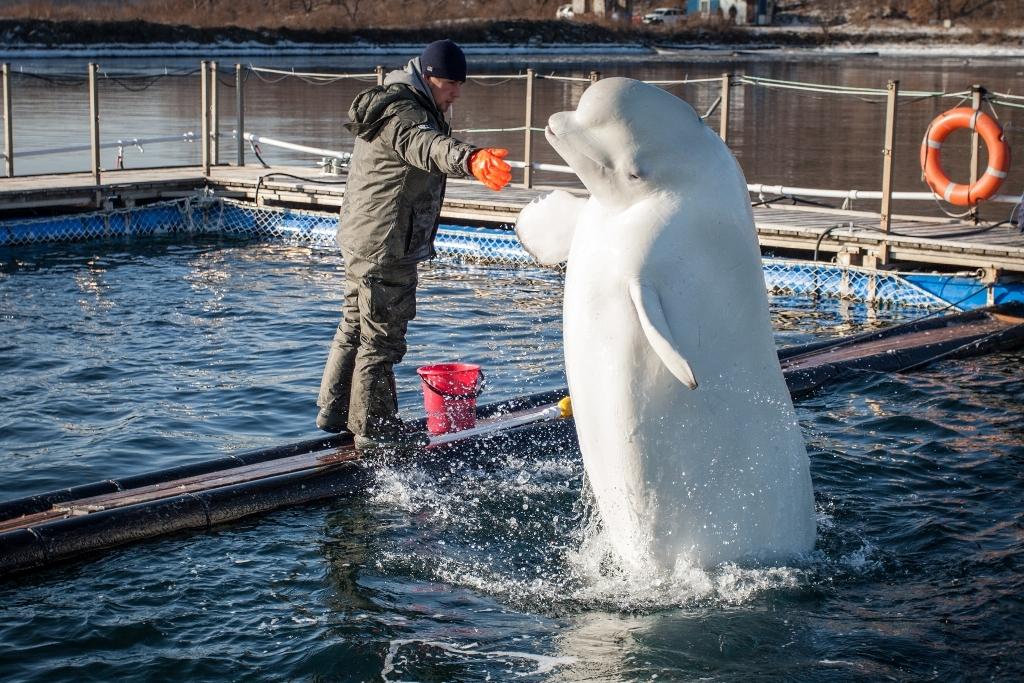Студенты изучат кровь дельфинов для исследования ихсостояния вПриморском океанариуме