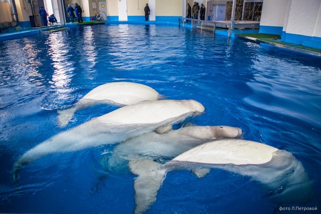 ВПриморском океанариуме погибла белуха