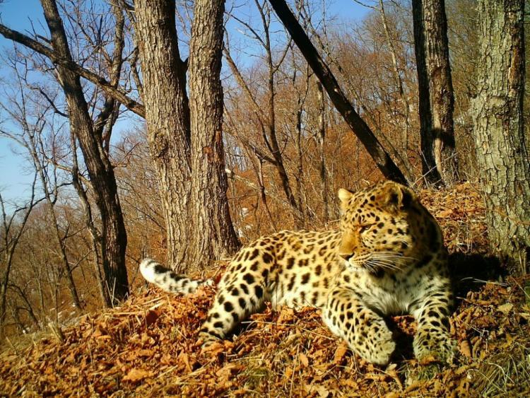 Впервый раз получена запись звуков общения диких дальневосточных леопардов