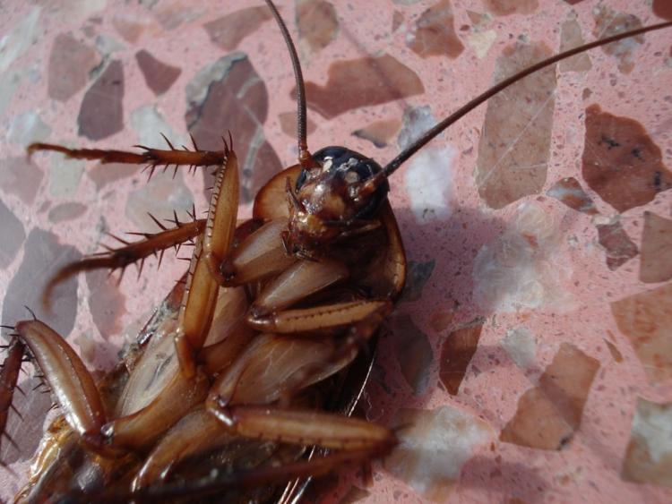 Кафе экзотической кухни воВладивостоке закрыли из-за нашествия тараканов