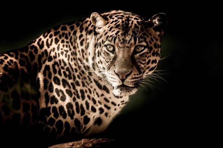 Взоопарке Приморья леопард напал надвухлетнего ребенка