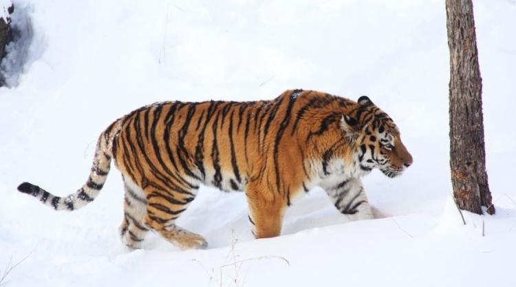ВПриморье тигр крадет содворов собак