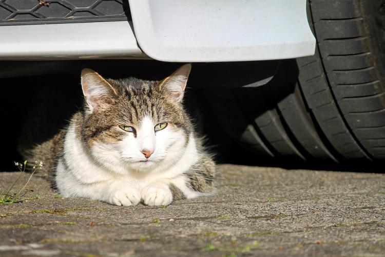 ВПриморье кот проехал вколесе автомобиля 130 километров