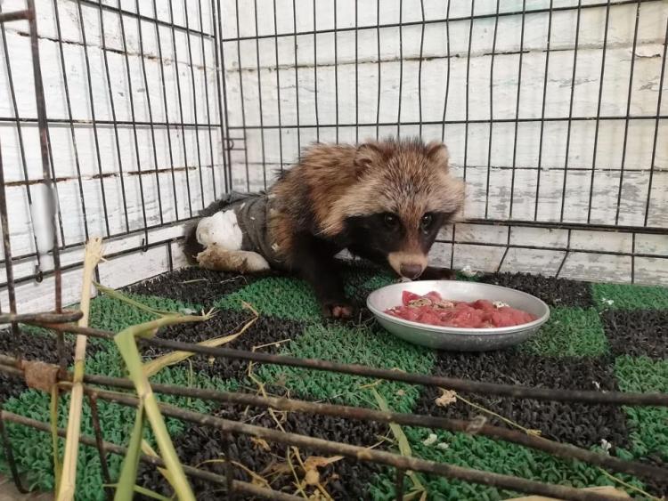 小伙子,痊愈了:滨海边区拯救了一只被咬伤的浣熊