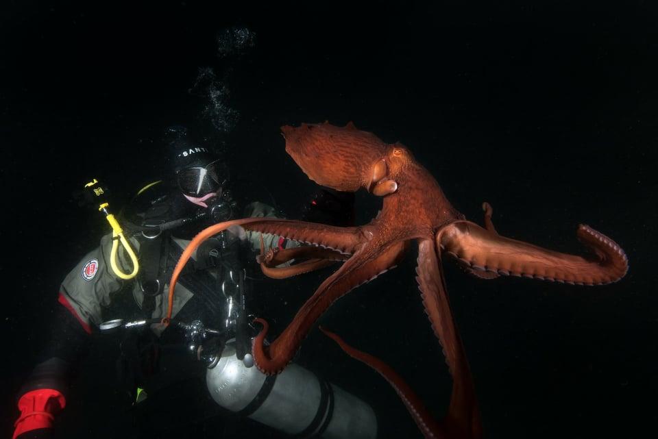 巨型章鱼浮出水面,以满足从符拉迪沃斯托克潜水员